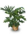 Tree-philodendron