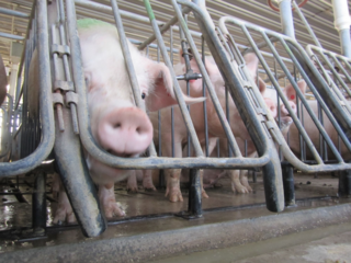 PIGS_IN_GESTATION_CRATES