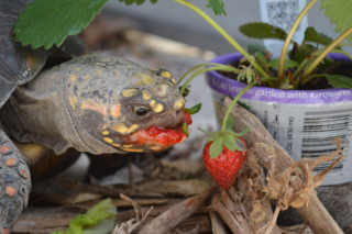 TORTOISE_STRAWBERRY