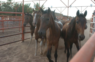 Horses held for slaughter