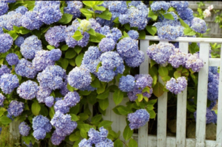 0704191450271na_141_blue_hydrangeas