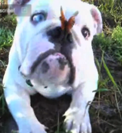Baby Bulldog Plays with Butterfly