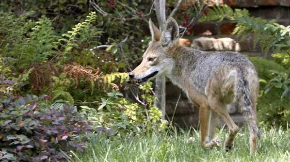 Glendale meetings to discuss coexisting with coyotes