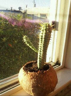 Cacti coconut