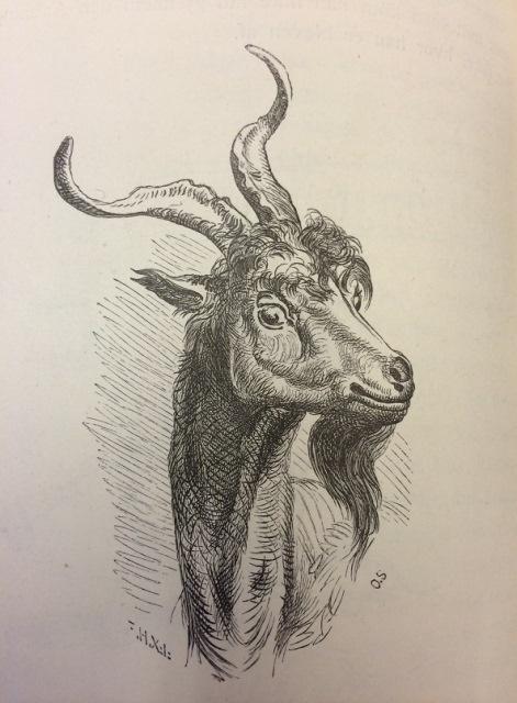 Billy Goats Gruff Goat