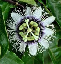 Passiflora-588757_640