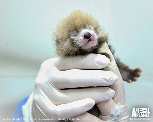 Apl-bites-baby-red-panda-02-500w