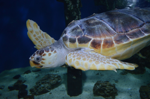 VLM Abe Sea Turtle 101915 (8)
