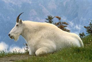 Mountain_Goat_USFWS
