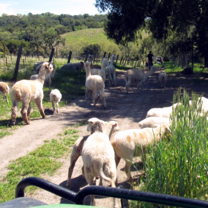 Escaped Herd