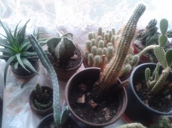 Kurkov's Cacti